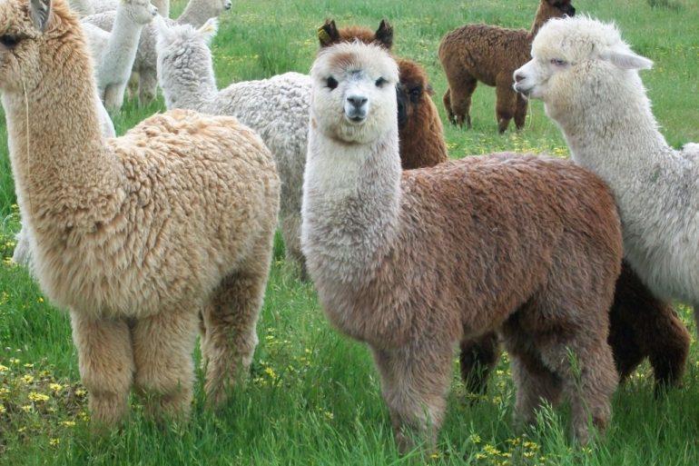 Alpacas Nov 2010 12 1024X768 1 Alpaca, Regalo De Los Dioses Incas Para El Mundo