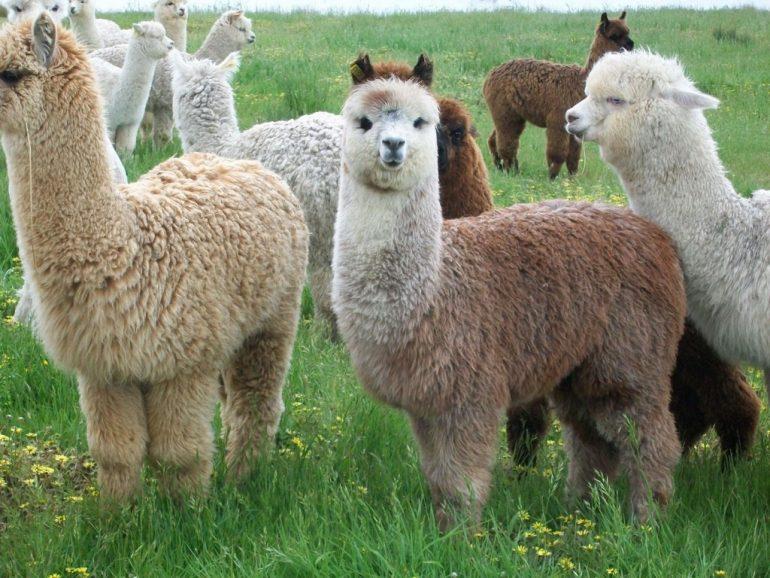 Alpacas Nov 2010 12 1024X768 1 Alpaca, Regalo De Los Dioses Incas Para El Mundo - Empresas Textiles