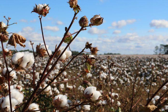 Algodon Organico Vs Algodon Reciclado Gabrielfariasiribarren.com  696X464 1 Algodón Orgánico Vs. Algodón Reciclado - Empresas Textiles